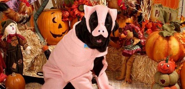 dog pig costume
